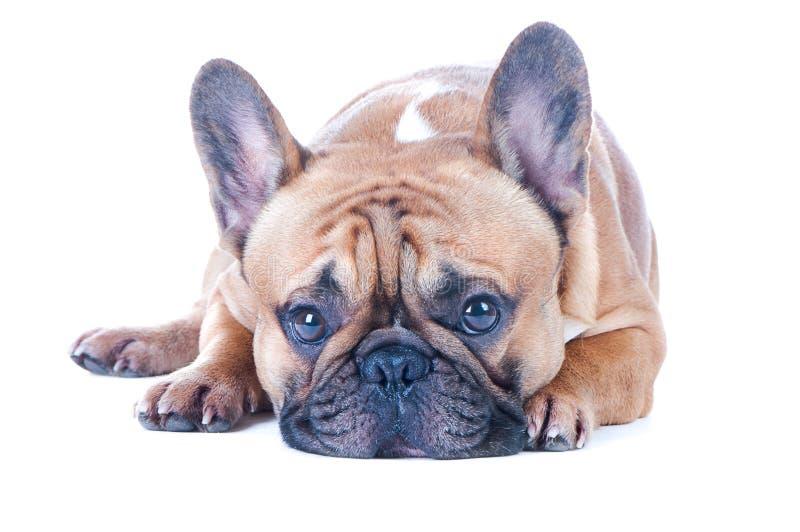 狗,美丽的法国牛头犬,红头发人,隔绝了完善在白色背景 免版税库存图片