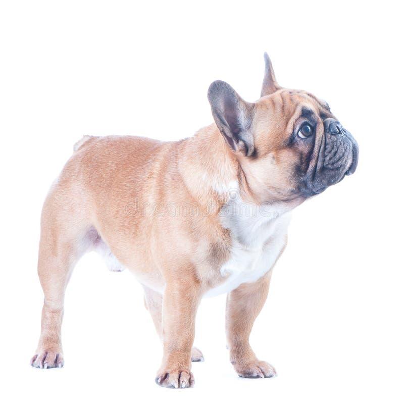 狗,美丽的法国牛头犬, 免版税库存图片