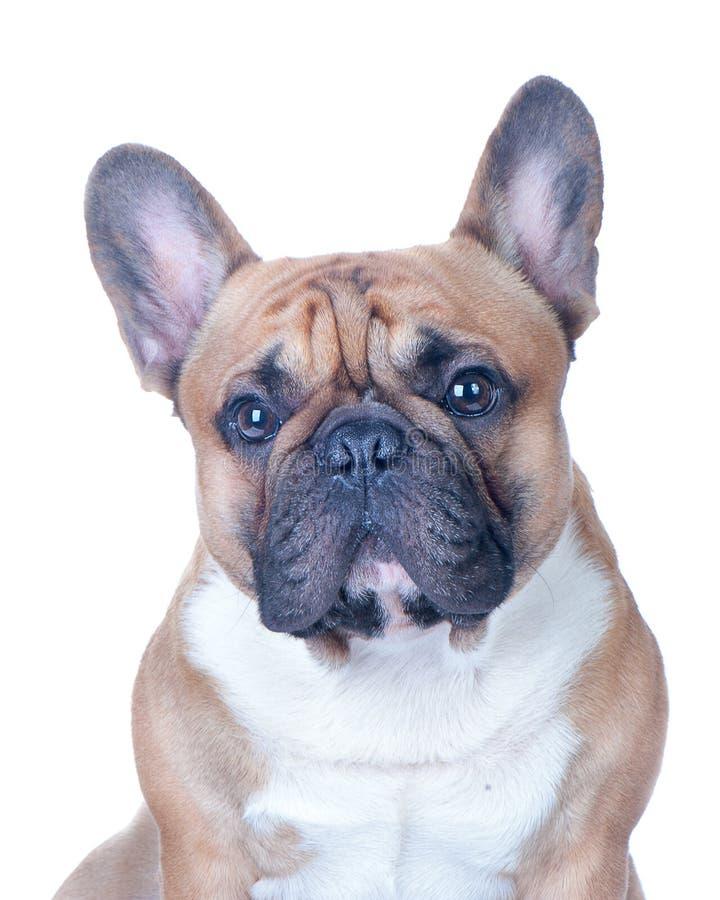 狗,美丽的法国牛头犬, 免版税图库摄影