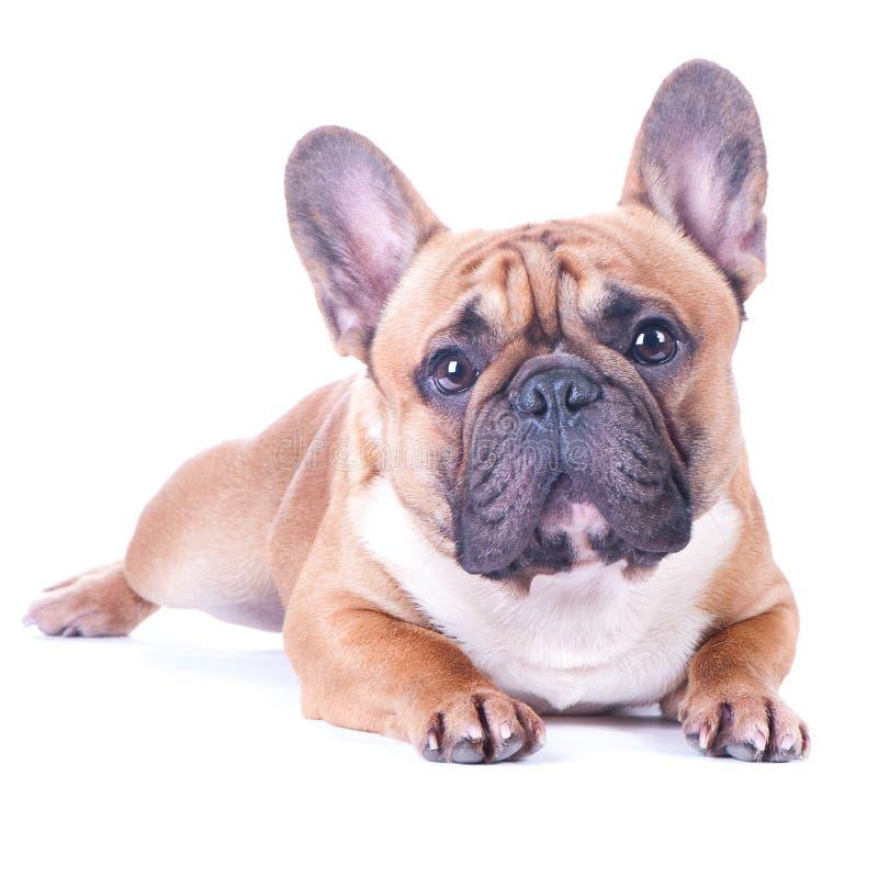 狗,美丽的法国牛头犬, 库存图片