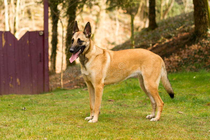 狗,画象的比利时牧羊人 图库摄影