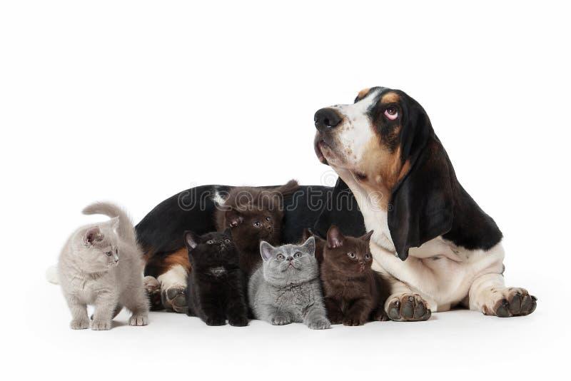 狗 与几只小英国小猫的贝塞猎狗狗在丝毫 免版税库存照片