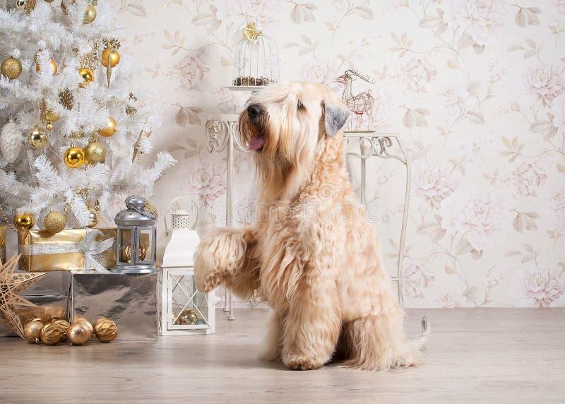 狗 在圣诞节背景的爱尔兰软的上漆的小麦狗 免版税库存图片
