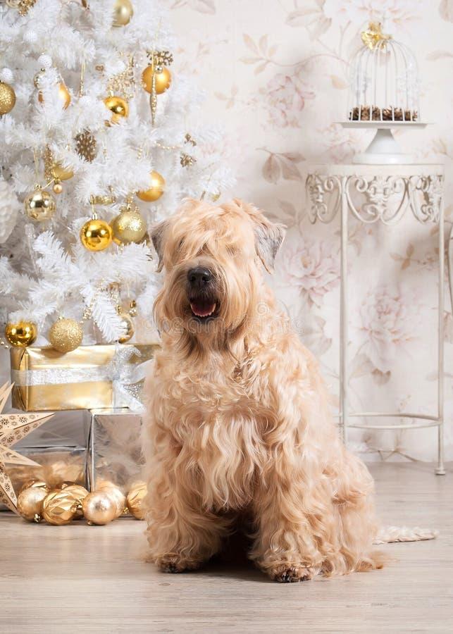 狗 在圣诞节背景的爱尔兰软的上漆的小麦狗 图库摄影