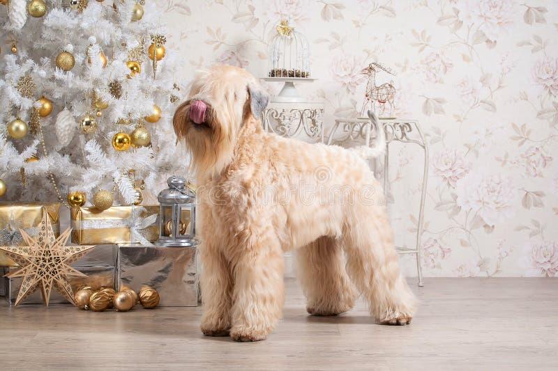 狗 在圣诞节背景的爱尔兰软的上漆的小麦狗 库存图片
