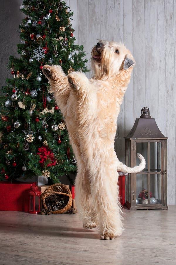 狗 在圣诞节背景的爱尔兰软的上漆的小麦狗 免版税图库摄影