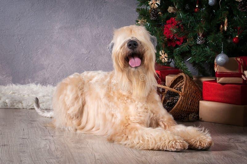 狗 在圣诞节背景的爱尔兰软的上漆的小麦狗 免版税库存照片