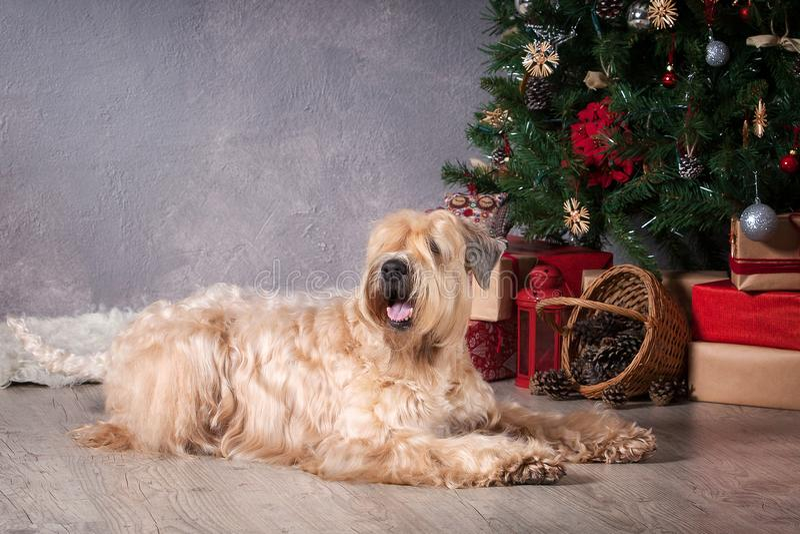 狗 在圣诞节背景的爱尔兰软的上漆的小麦狗 库存照片