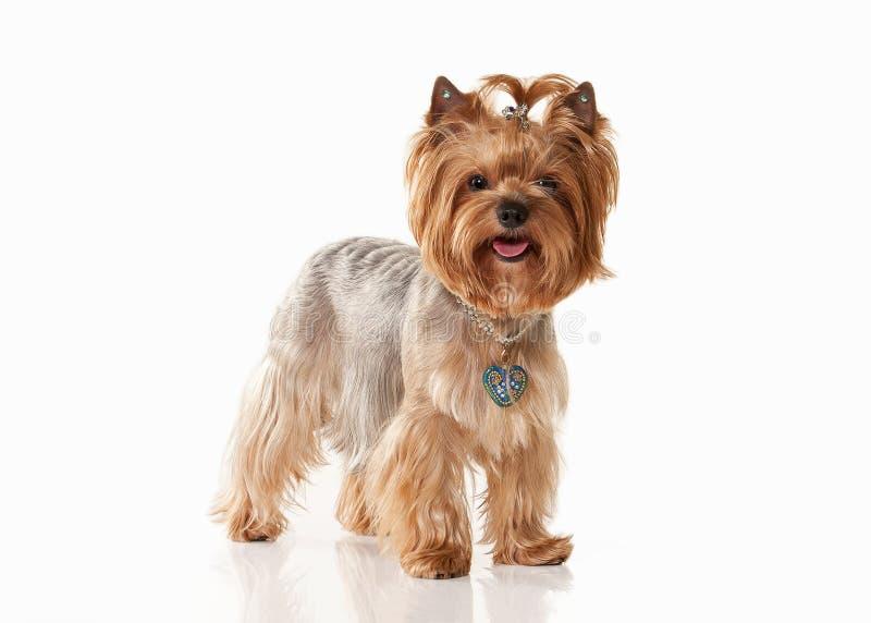 狗 在白色梯度背景的Yorkie小狗 免版税库存照片