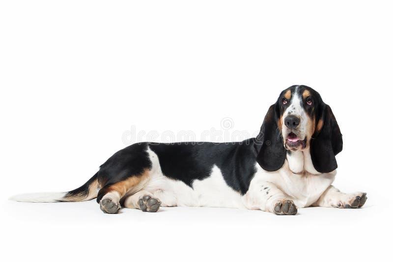 狗 在白色背景的贝塞猎狗狗 免版税库存图片