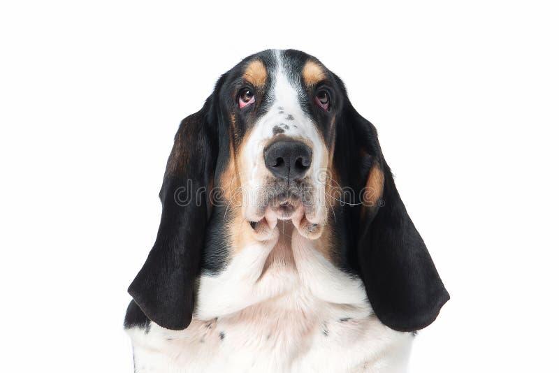 狗 在白色背景的贝塞猎狗狗 免版税库存照片