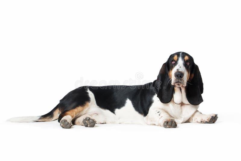 狗 在白色背景的贝塞猎狗狗 图库摄影