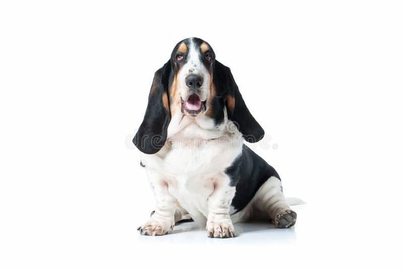 狗 在白色背景的贝塞猎狗狗 库存图片