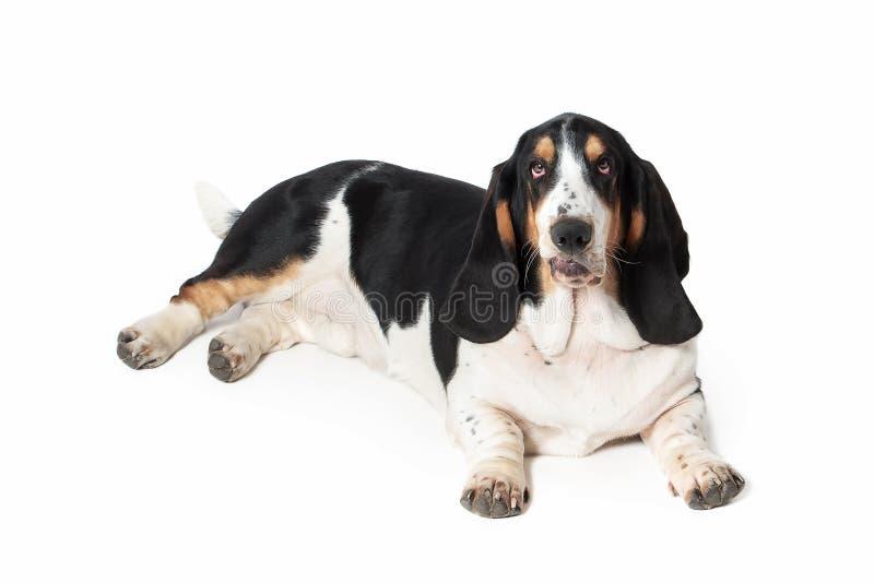 狗 在白色背景的贝塞猎狗狗 库存照片