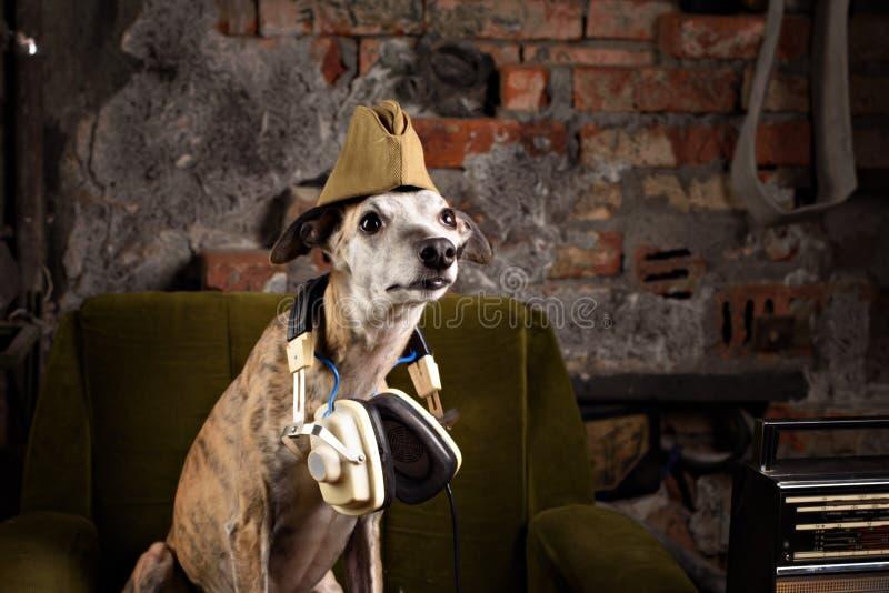 狗养殖在战士的衣裳的Whippet 库存图片