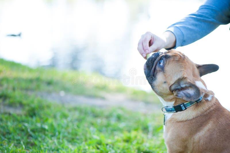 狗 法国牛头犬画象特写镜头 所有者` s手给狗一种款待 文本的空间 免版税图库摄影