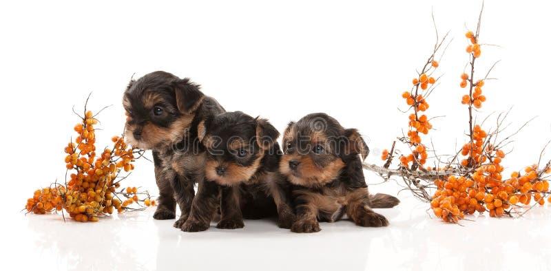 狗 约克夏狗的三只小狗在白色背景的 免版税库存图片