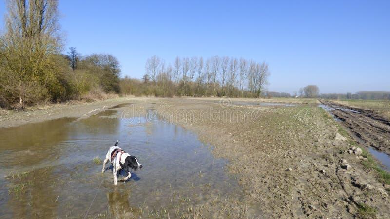狗braque d'一个湿领域的奥韦涅 免版税库存照片