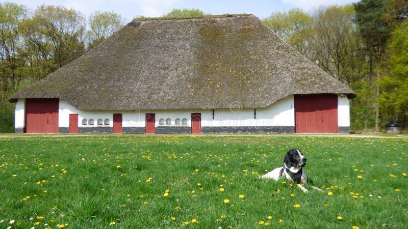 狗braque d'奥韦涅和一个老农场 免版税库存照片