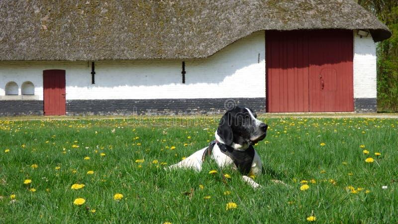 狗braque d'奥韦涅和一个老农场 免版税图库摄影