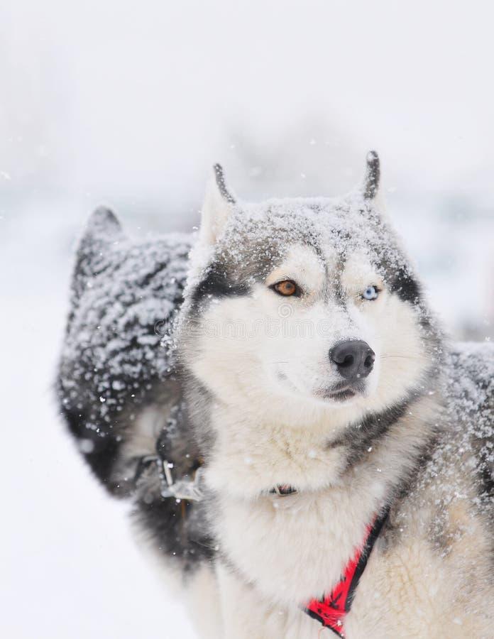 狗huskys雪撬二 免版税库存图片