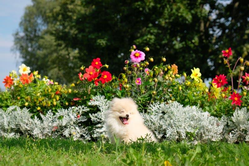 狗pomeranian波美丝毛狗坐开花花 聪明的白色小狗pomeranian狗画象  逗人喜爱毛茸家畜坐 库存图片