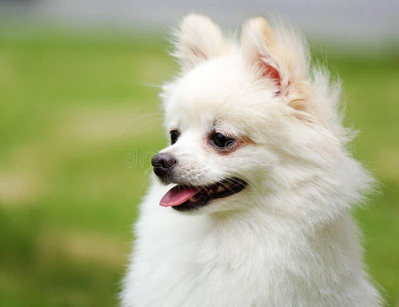 狗pomeranian白色 免版税库存照片