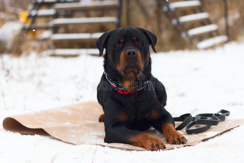 狗Rottweiler,冬天训练 免版税库存图片