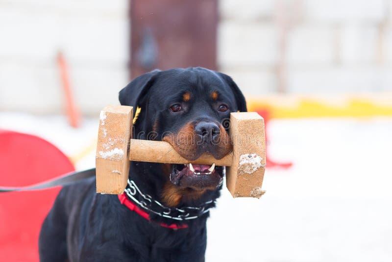 狗Rottweiler,冬天训练 免版税库存照片