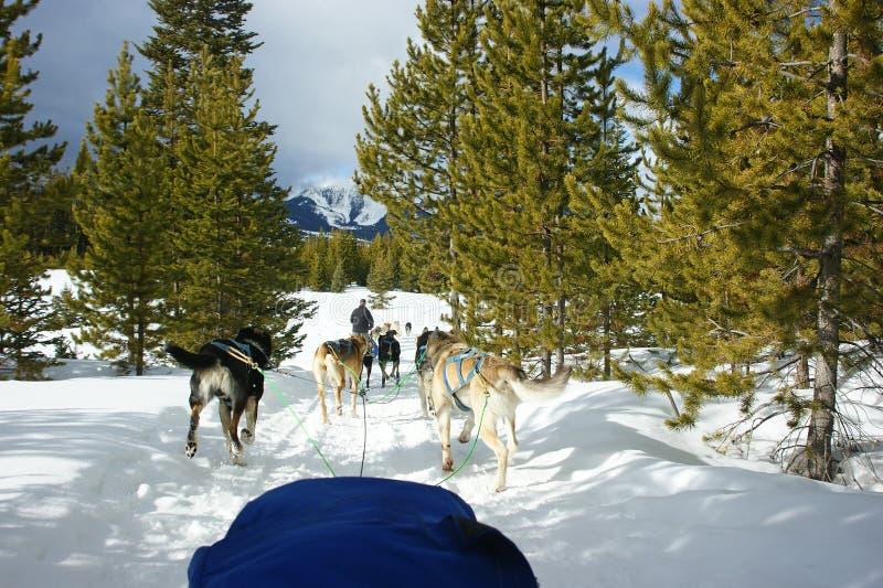 狗sledding的蒙大拿 库存图片