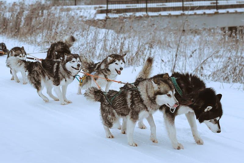 狗sledding种族 图库摄影