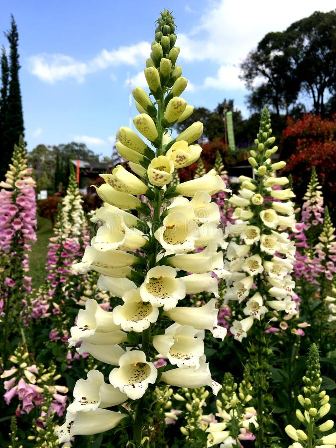 狡猾淡黄色的洋地黄或毛地黄属植物花在庭院里 免版税库存图片