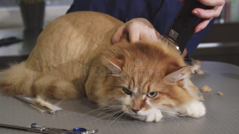 狩医被刮的可爱的蓬松姜猫在诊所 免版税库存图片
