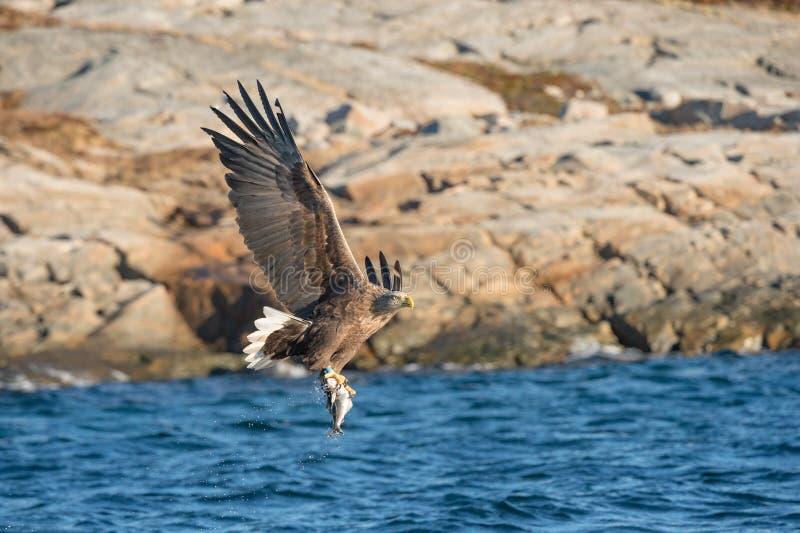 狩猎海鹰 图库摄影