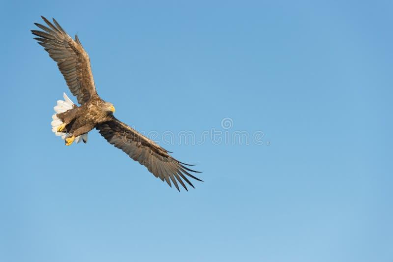 狩猎海鹰 库存图片