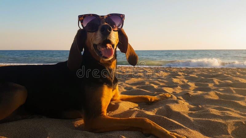 狩猎狗的画象在海滩佩带的太阳镜的 免版税库存图片