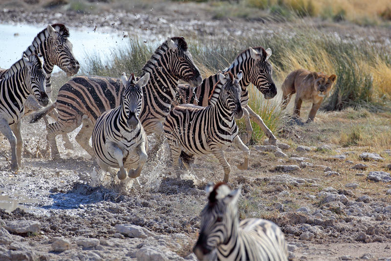 狩猎狮子斑马 免版税库存照片
