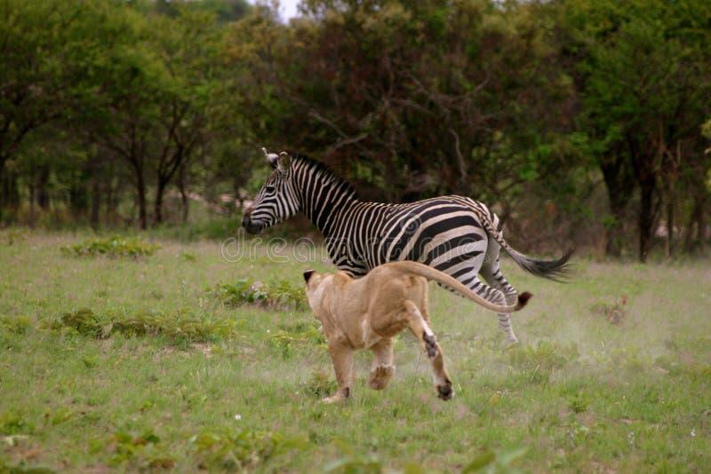 狩猎狮子斑马 免版税库存图片