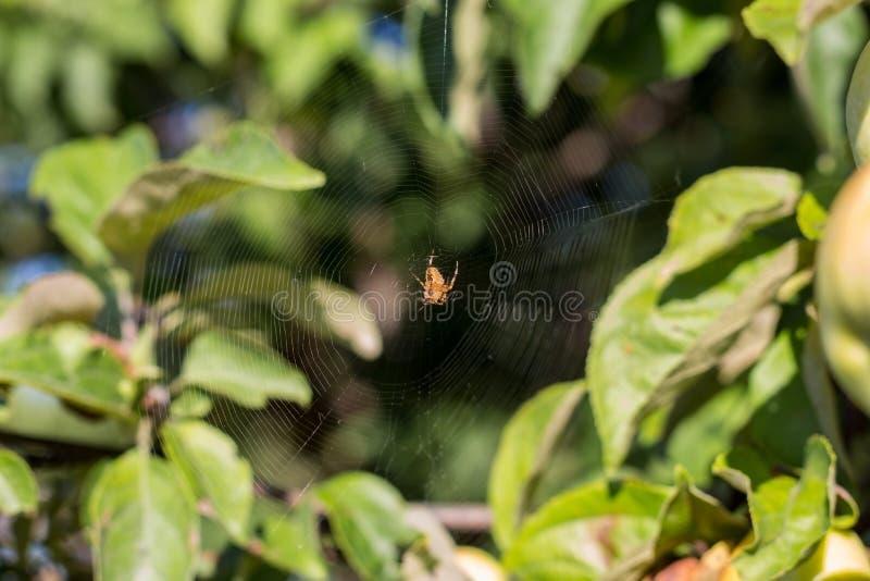 狩猎的蜘蛛网 免版税库存图片