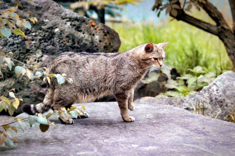 狩猎的野猫会监视猎物 库存图片
