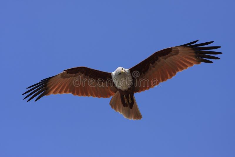 狩猎风筝 免版税库存照片