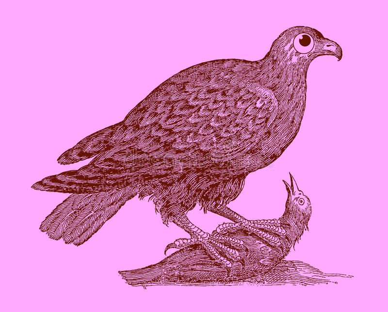 狩猎鸷:老鹰坐一只被夺取的鸟 库存例证