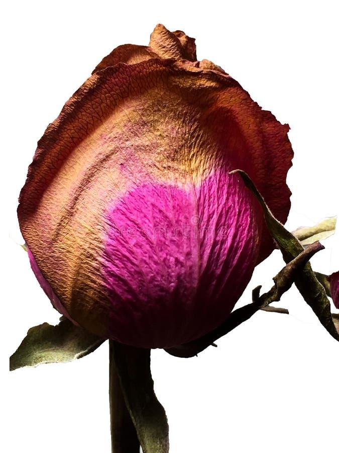 独奏干未打开棕色和桃红色心形上升了与绿色叶子反对白色背景 免版税图库摄影