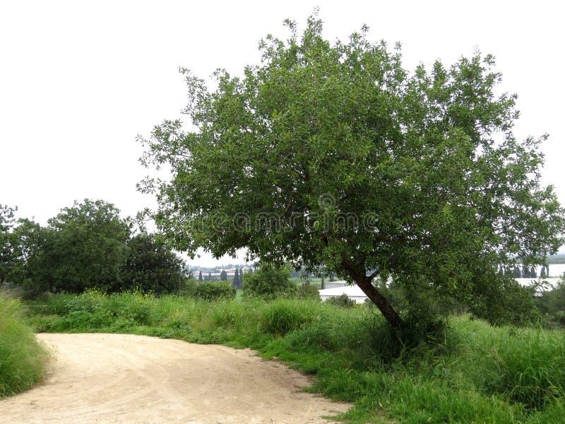 独奏绿色树 免版税库存照片