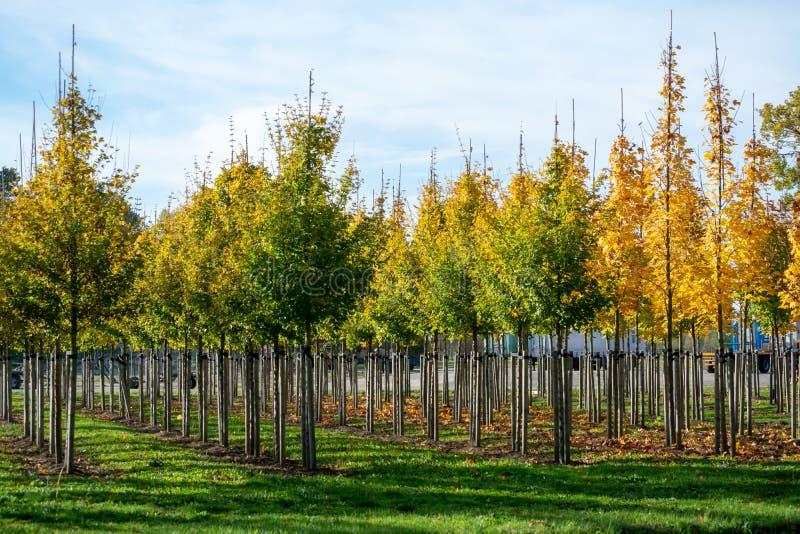 独家新闻荷兰托儿所塑造了espaliered装饰树,p 免版税图库摄影