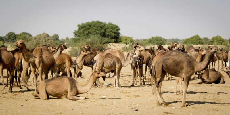 Download 独峰驼牧群。 库存照片. 图片 包括有 温暖, 哺乳动物, 自由, 骆驼, 没人, 水平, 牧群, 国内 - 30331840