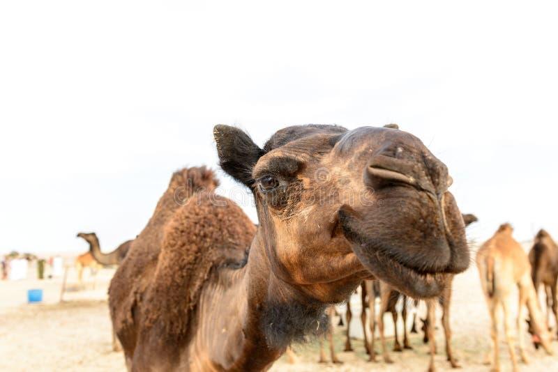 独峰驼头在阿曼沙漠(阿曼) 免版税库存照片