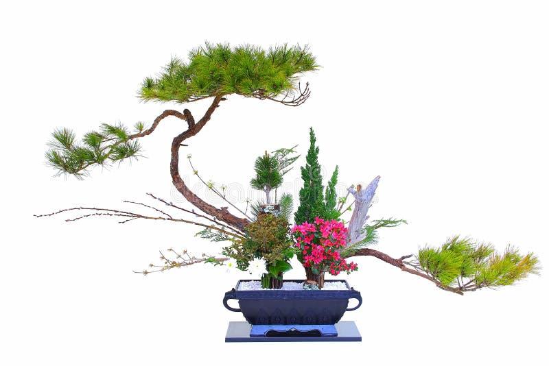 独特的形状的松树在陶瓷罐的盆景植物中 免版税库存照片