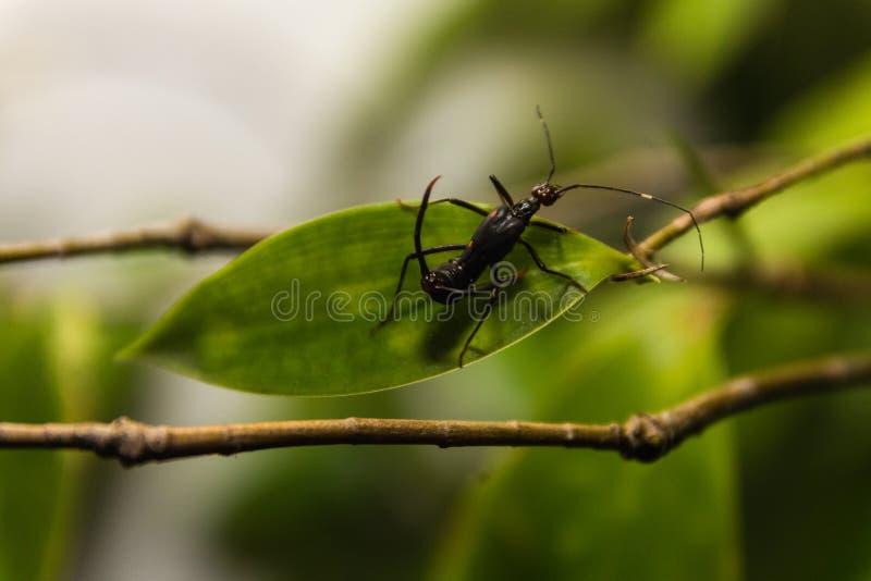 独特的蚂蚁宏指令与2雄鹿的在它的后面 免版税库存图片