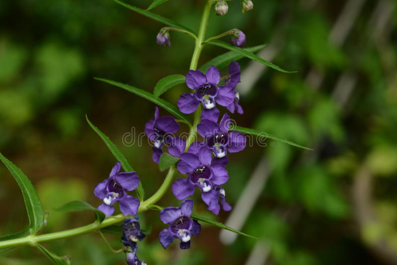 狭窄的叶子angelonia 免版税库存图片